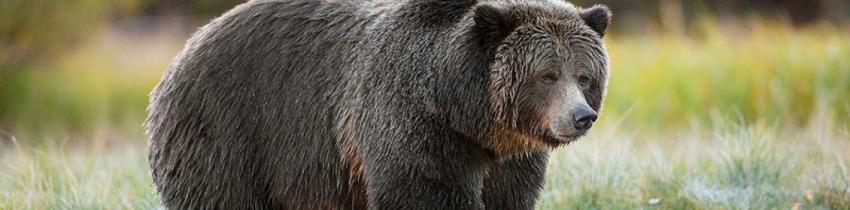 Trophy hunt, BC bear hunt, grizzly hunt