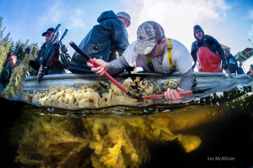 Heiltsuk roe on kelp herring fishery - Ian McAllister