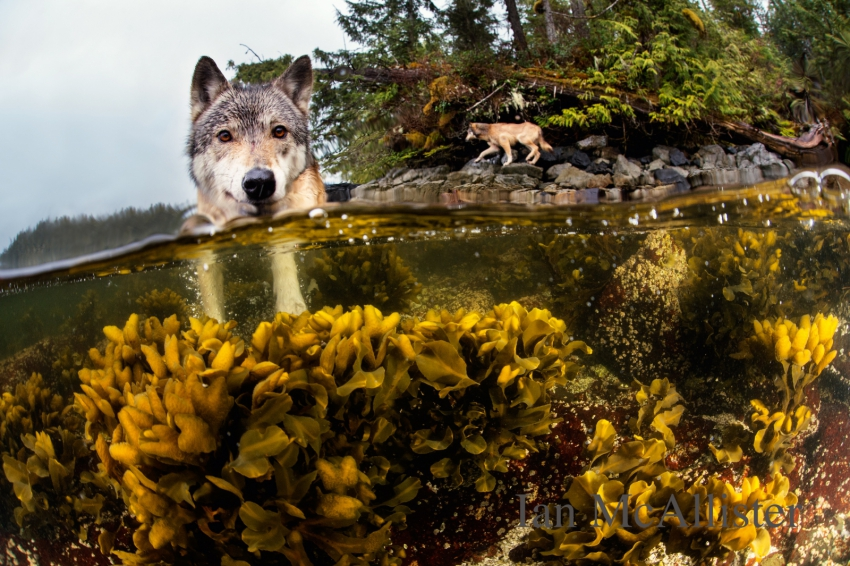 Ian McAllister tidal wolf photo - Great Bear Wild - used with permission