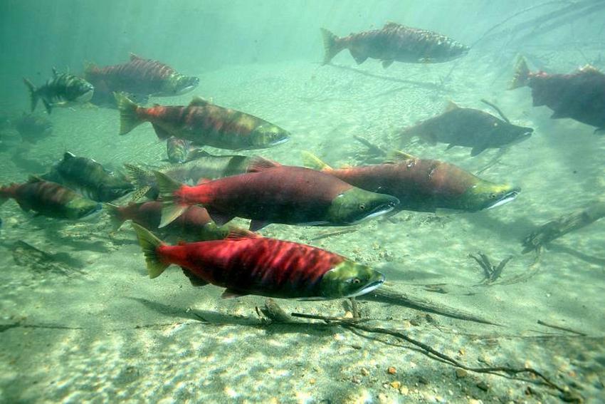 Salmon underwater - Skeena Wild Conservation Trust