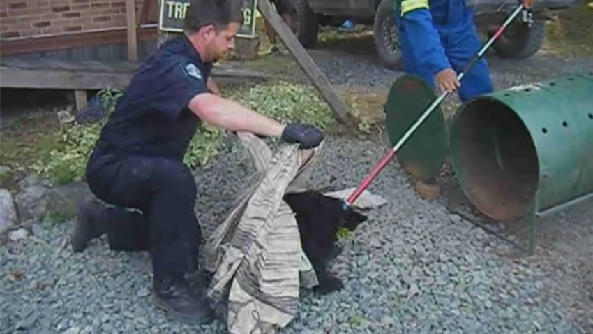 Conservation Office Bryce Casavant corralling bear cub - CTVNews