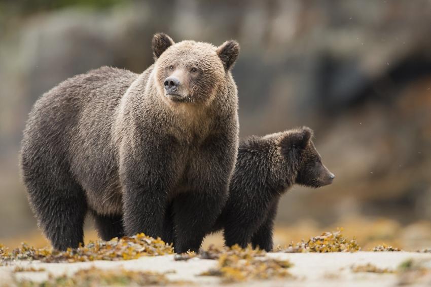 grizzly bears Great Bear Rainforest - Ian McAllister