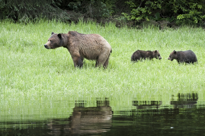 Grizzly trophy hunt great bear rainforest Andrew Wright