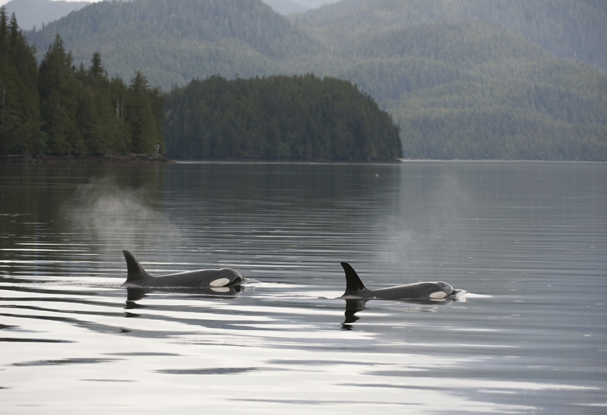 orcas, killer whales, whales, habitat, LNG, oil spill, pipelines