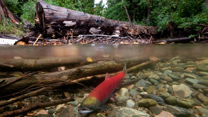 Sockeye salmon spawning in Adams River. CP photo
