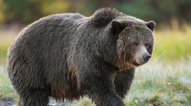 Trophy hunt, BC bear hunt, grizzly hunt