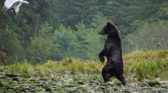 Traps set for unwanted guest grizzlies off northeastern vancouver