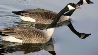 Canada geese mating ritual