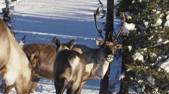 BC's Caribou Recovery Plan.