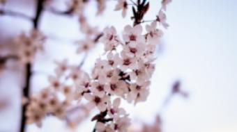Cherry blossom season in Vancouver, BC 2014