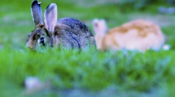 Wild rabbits grazing at Jericho Beach
