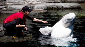 A trainer works with a beluga at Vancouver Aquarium. CP Photo