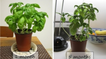 growing_basil_progress