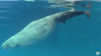 beluga baby, SeaWorld San Diego. Still from promotional video