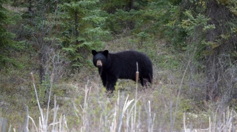 Black bear spotted near Conklin, Alberta