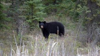 Black bear spotted near Conklin, Alberta