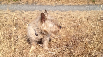 Dog blends into the brown grass at a Vancouver park July 2015
