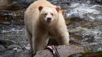 Kermode aka 'spirit bear'