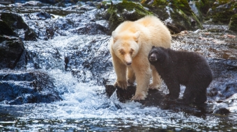A Spirit Bear with her black cub in the Great Bear Rainforest