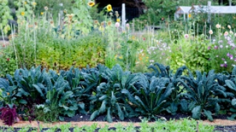 Kale in the garden at Hollyhock