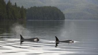 orcas, killer whales, whales, habitat, LNG, oil spill, pipelines