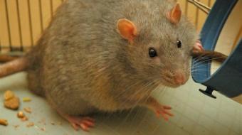 Laboratory rat, Wikipedia