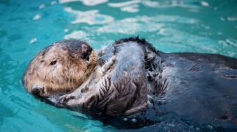Vancouver Aquarium, VanAqua, wally, sea otter