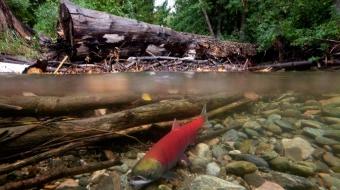 Sockeye salmon spawning in Adams River. CP photo