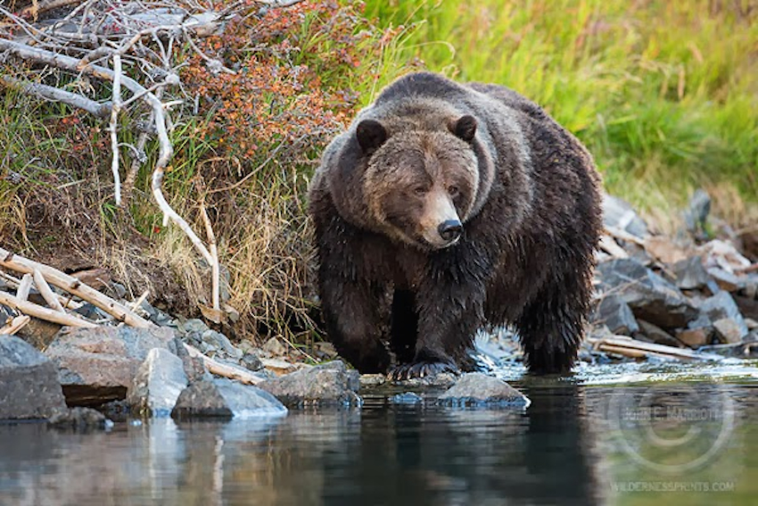 big momma grizzly bear trophy hunt chilcotin cariboo john e marriot