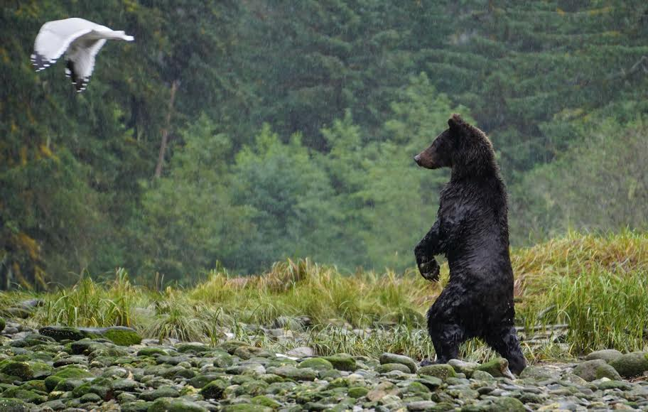 Bc Ndp Announces Policy To Ban Trophy Hunting Of Grizzlies Vancouver Observer