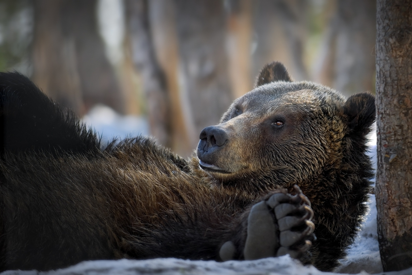 Relaxing grizzly bear. Photo by Andrew S. Wright.