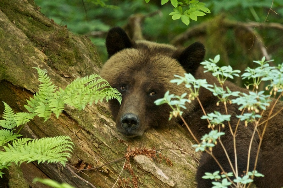 Grizzly Watching And A Whole Lot More In The Great Bear