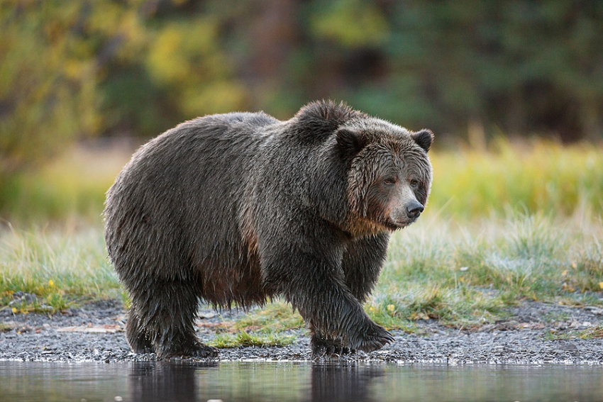 Big Momma grizzly bear - John E. Marriot