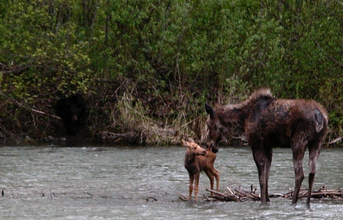 Moose in Kispiox River
