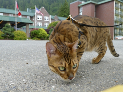 Bengal cat at Harrison Lake
