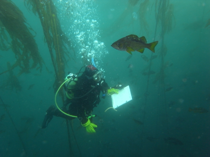Alejandro Frid on research dive off Tar Islands.  Photo by Rowan Trebilco.