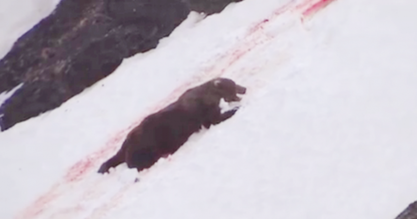 graphic footage, grizzly hunt, trophy hunt, B.C. trophy hunt