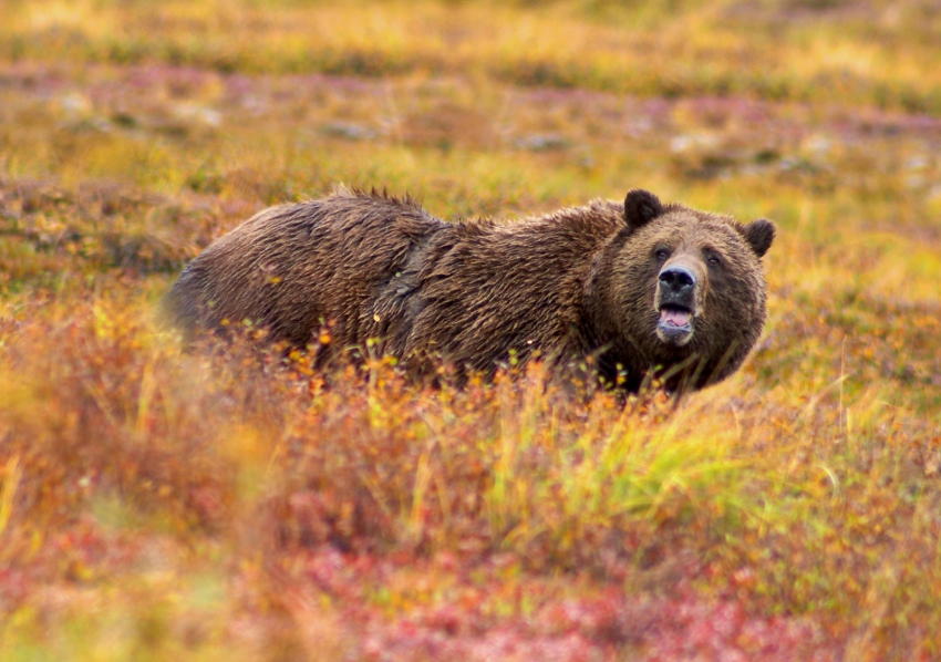 grizzly bear trophy hunt wikicommons vancouver observer