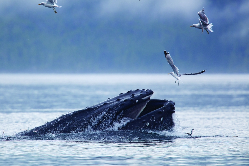Humpback Whale, photographed by John Lowman
