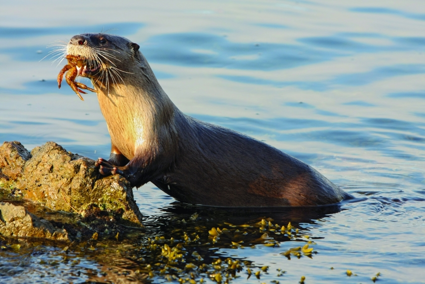 River Otter with crab, photographed by Phil Green