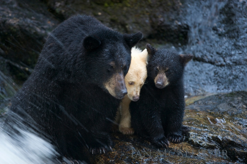 Ian McAllister - black and white bears - Great Bear Wild